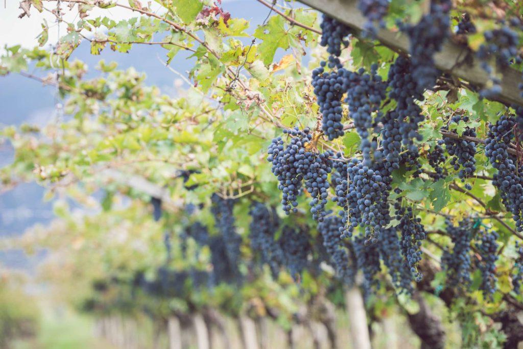 marzemino-vini-del-trentino
