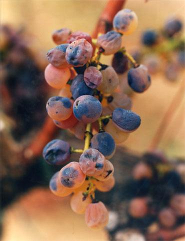 uva Saros