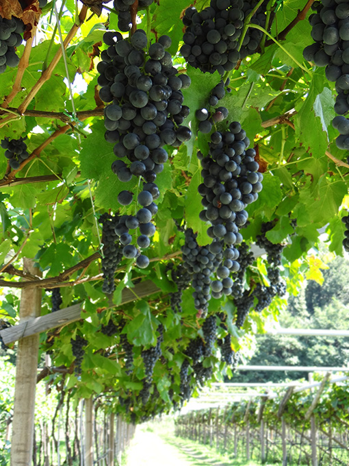 brugnara-uva-nera-vinitrentino
