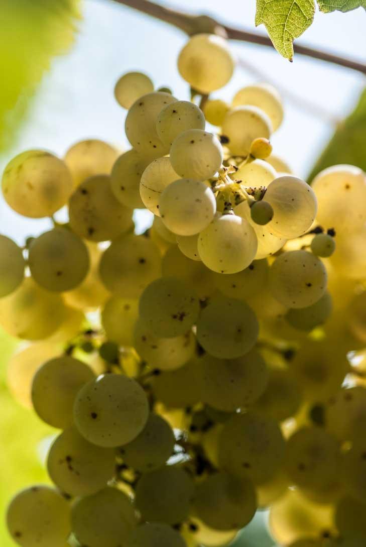 uva santa margherita